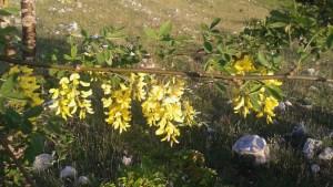 Laburnum anagyroides/ Golden chain/Maggiocion/ キングサリ