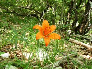 Orange lily/ Lilium croceum/ Lilium bulbiferum/ Giglio rosso, o di San Giovanni. At the edge of beech forest