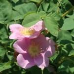 Nootka Rose/ ロサ・ヌトカーナ Figure of flowers