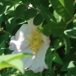 Rosa hirtula/ サンショウバラ Figure of flower