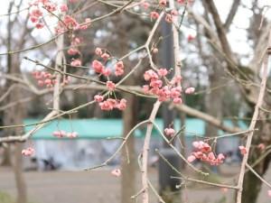 Euonymus hamiltonianus/ Hamilton's spindletree/ マユミ 真弓