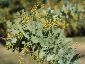 Acacia baileyana/ Cootamundra wattle/ ギンヨウアカシア 銀葉アカシア