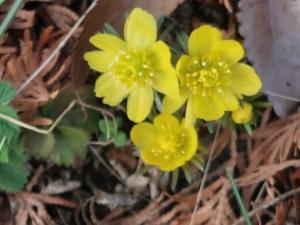 Eranthis cilicica/ Winter Aconites/ キバナセツブンソウ