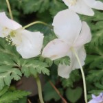 Anemone nikoensis/ イチリンソウ 一輪草 Figure of flowers