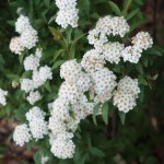 Spiraea cantoniensis/ Meadow sweet/ コデマリ