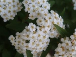 Spiraea cantoniensis/ Meadow sweet/ コデマリ