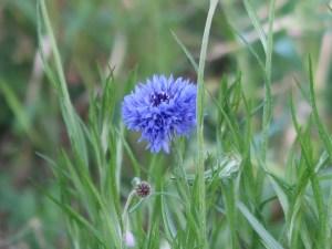 Centaurea cyanus/ Cornflower/ ヤグルマギク