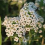 Lobularia maritima/ Sweet alyssum/ アリッサム