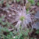 Pulsatilla cernua/ Nodding anemone/ オキナグサ