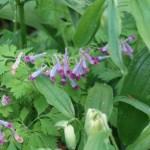 Corydalis incisa/ Incised fumewort/ ムラサキケマン