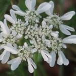 Orlaya grandiflora/ Orlaya/ オルレア