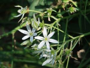 Ornithogalum umbellatum/ Garden star-of-Bethlehem/ オオアマナ