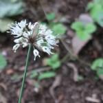 Allium victorialis subsp. Platyphyllum/ Victory onion/ ギョウジャニンニク
