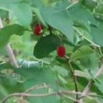 Lonicera gracilipes var. glabra/ ウグイスカグラ
