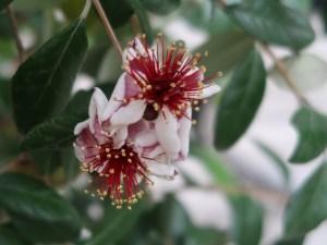 Acca sellowiana/ Feijoa/ フェイジョア