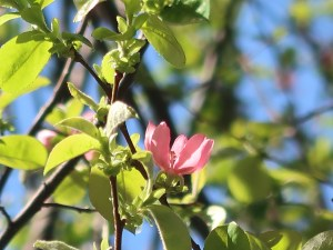 Pseudocydonia sinensis/ Chinese quince/ カリン
