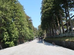 Cryptomeria japonica/ Japanese cedar/ スギ 杉並木