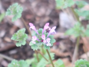 Lamium amplexicaule/ Henbit dead-nettle/ ホトケノザ