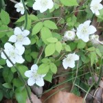 Rubus hirsutus/ Hirsute raspberry/ クサイチゴ