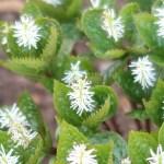 Chloranthus japonicus/ Japanese Chloranthus/ ヒトリシズカ
