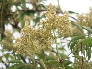 Sambucus sieboldiana var. pinnatisecta/ Japanese red elder/ ニワトコ