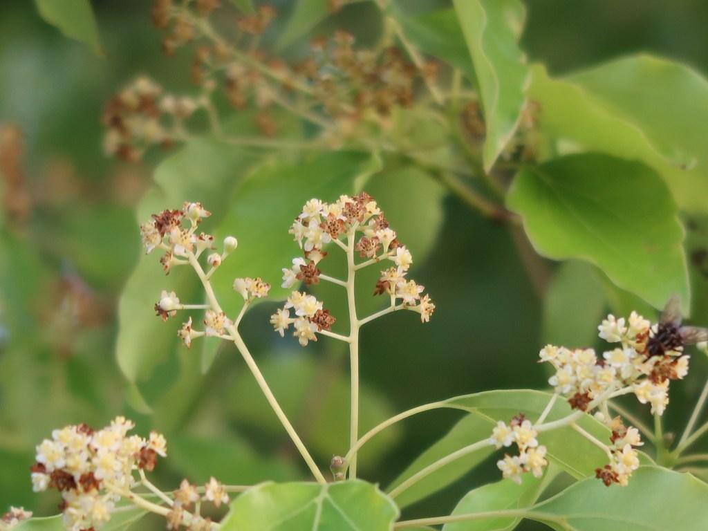 Cinnamomum camphora/ Camphor Laurel/ クスノキ