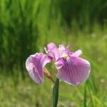 Iris ensata var. ensata/ Hanashoubu, Japanese Irisハナショウブ