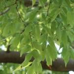 Zelkova serrata/ Japanese zelkova/ ケヤキ