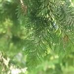 Chamaecyparis pisifera/ Sawara cypress/ サワラ