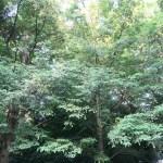 Torreya nucifera/ Japanese torreya/ カヤ