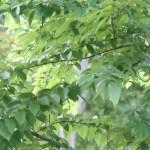 Carpinus tschonoskii/ Chonowski's hornbeam/ イヌシデ
