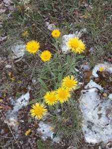 Arnica montana/ Wolf's bane/ セイヨウウサギギク