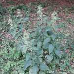 Urtica dioica/ Common nettle/ セイヨウイラクサ