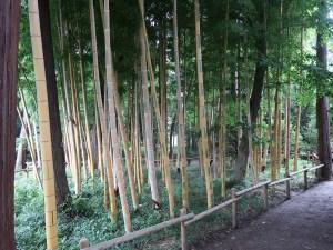 Phyllostachys heterocycla/ Moso bamboo/ モウソウチク 金明孟宗竹