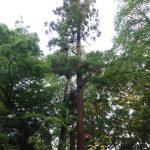 Cryptomeria japonica/ Japanese cedar/ スギ