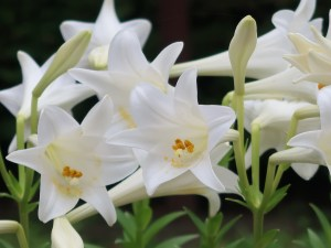 Lilium longiflorum/ Easter lily/ テッポウユリ
