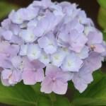 Hydrangea macrophylla/ Bigleaf hydrangea/ アジサイ 品種名 カメレオンアジサイ ホベラ