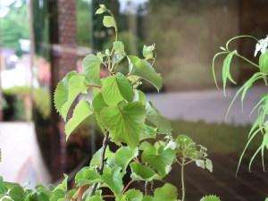 Schizophragma hydrangeoides/ Japanese hydrangea vine/ イワガラミ