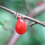 Daphne pseudomezereum/ オニシバリ