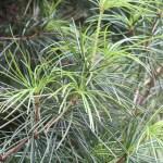 Sciadopitys verticillata/ Japanese umbrella-pine/ コウヤマキ