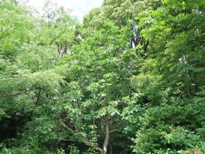 Magnolia obovata/ Japanese Bigleaf Magnolia/ ホウノキ