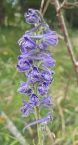 Delphinium fissum/ Blue Larkspur/ デルフィニウムフィッサム