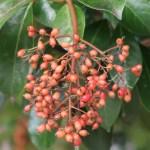Viburnum odoratissimum/ Sweet viburnum/ サンゴジュ