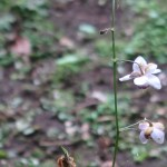 Anemonopsis macrophylla/ False anemone/ レンゲショウマ