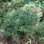 Taxus cuspidata var. nana/ Japanese yew/ キャラボク