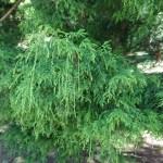 Chamaecyparis pisifera var. filifera/ ヒヨクヒバ