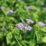 Ageratum houstonianum/ Flossflower/ オオカッコウアザミ