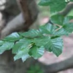 Fagus sylvatica/ European beech/ common beech