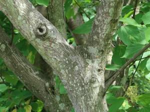Mallotus japonicus/ Japanese Mallotus/ アカメガシワ