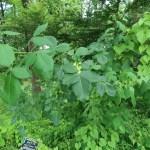 Ptelea trifoliata/ Common hoptree/ ホップノキ
